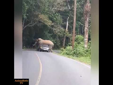 Massive Elephant Scratches an Itch with a Car