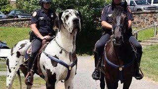 Great Dane Gentle Giant - Apollo of Dogs