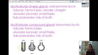 2-3 Glandular epithelium