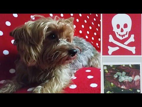 Mon chien a été empoisonné