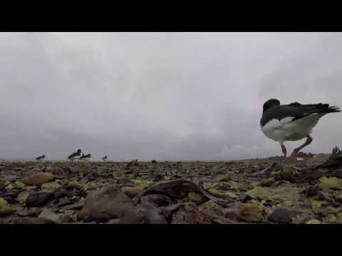 Oyster Catchers close up