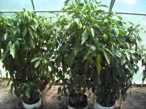 , title : 'High Temperatures and Vegetable Plants in the Greenhouse