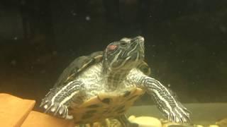 Красноухая ЧЕРЕПАХА заживо жрет золотую рыбку(черепаха убийца)