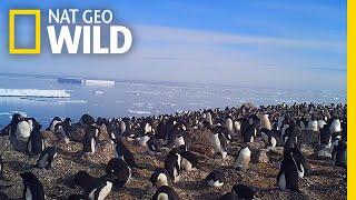 Explore a Hidden Colony of 1.5 Million Antarctic Penguins | Nat Geo Wild