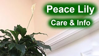 Peace Lily (Spathiphyllum)   Care & Info