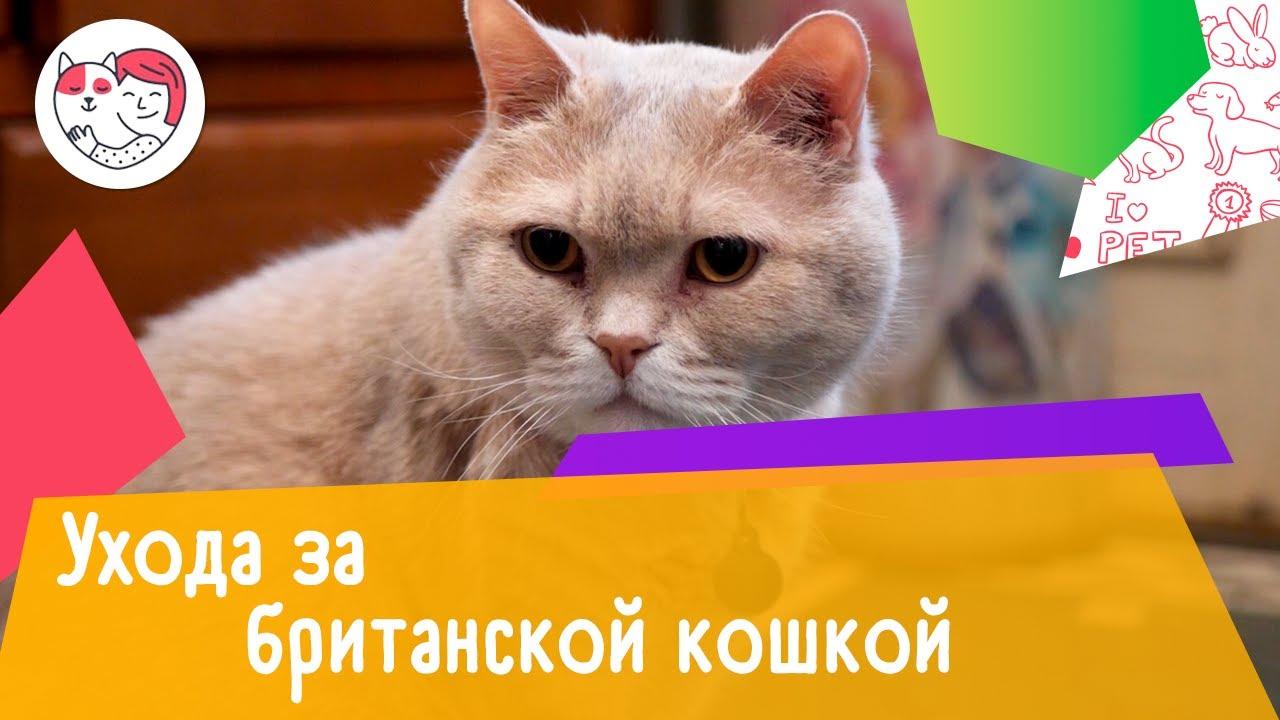 4 особенности за британской короткошерстной кошкой