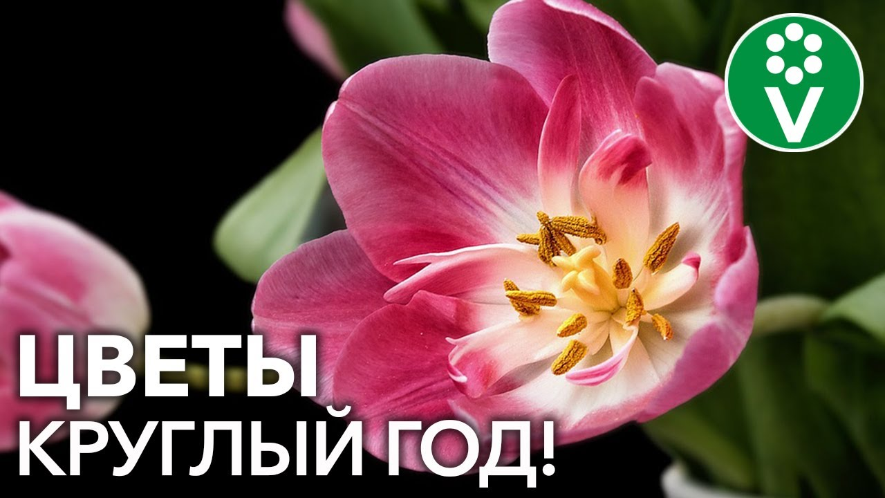 Вырастите ТЮЛЬПАНЫ К НОВОМУ ГОДУ! Особенности выгонки луковичных цветов