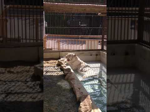 【池田動物園公式】ホワイトタイガーのサンちゃんの水浴びの様子④