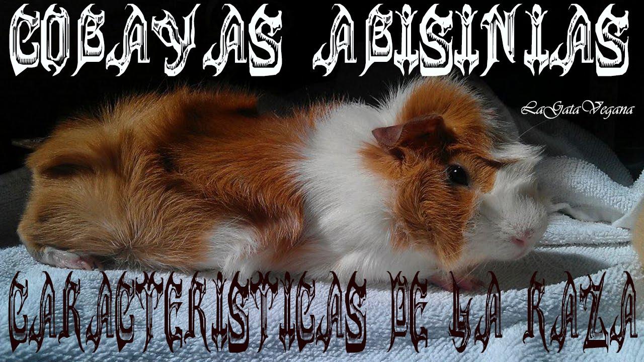 LAS COBAYAS ABISINIAS / CARACTERÍSTICAS DE LA RAZA ABISINIA Y SUS MESTIZOS