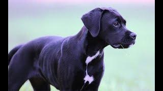 Labrador + Boxer = Boxador