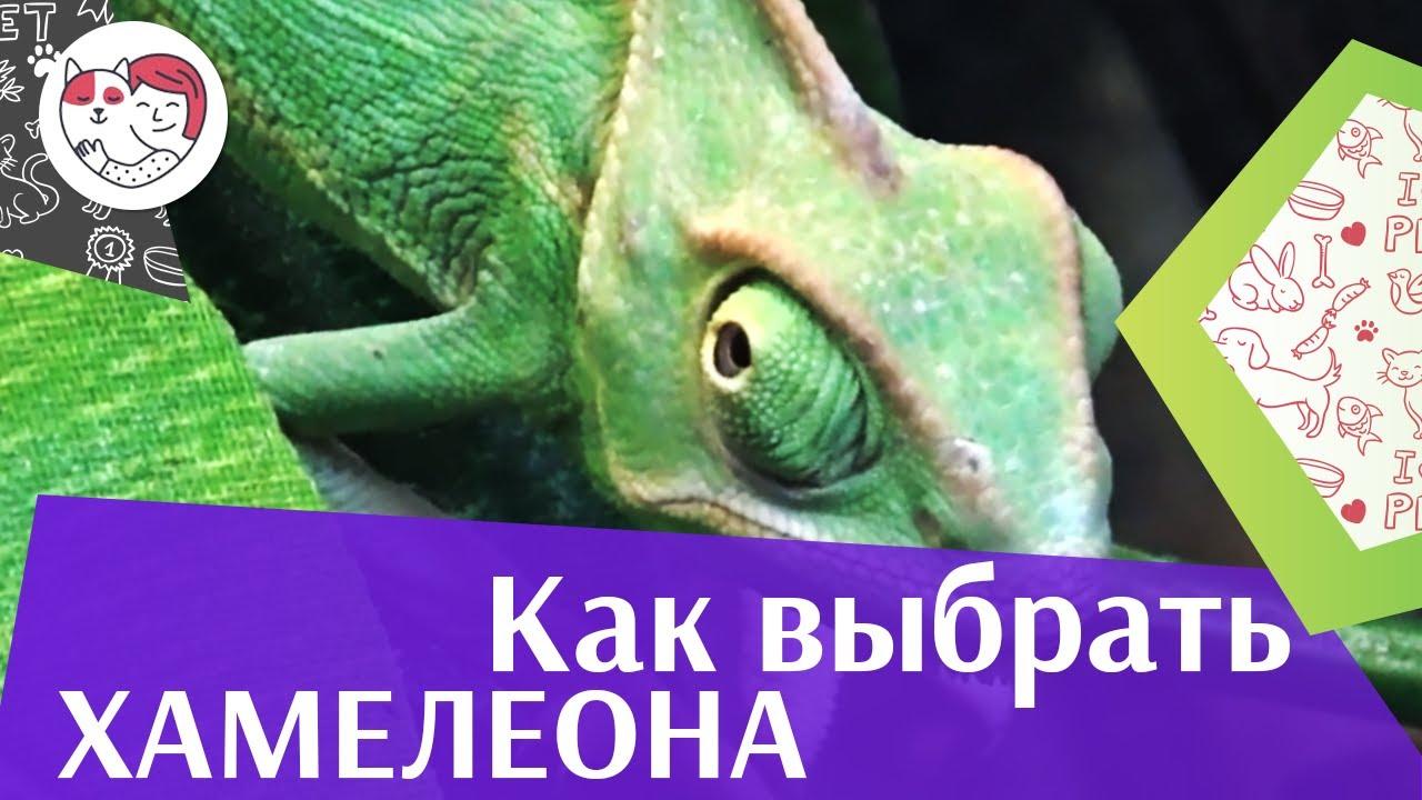 Выбираем хамелеона на ilikepet