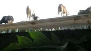 preview picture of video 'Schaftransport'