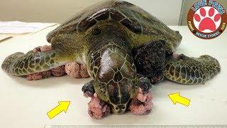 Смотреть онлайн Люди чистят панцири у черепах
