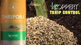 Controlling Thrips without any Sprays (Biological Bug Control) by Urban Grower