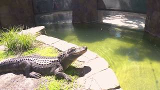 Happy Hollow | Learn about our American Alligator