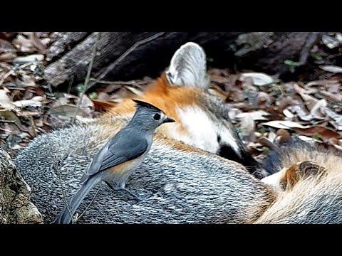 Tiny Bird Annoys Fox for it's Fur