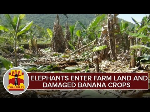 Elephants-Enter-Banana-Crop-Land-Damaged-Lands-Farmers-Demands-To-Take-Action
