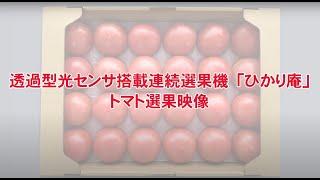 透過型光センサ搭載連続選果機ひかり庵トマト選果作業