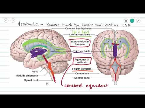 Ventricles of the Brain and CSF (video)