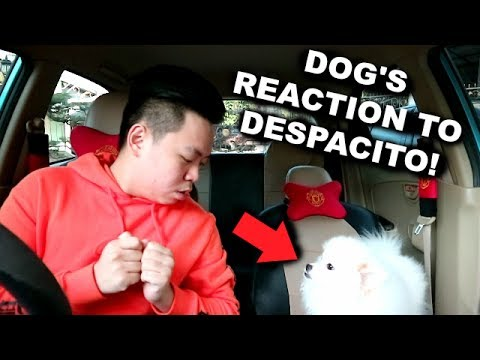My Dog's Reaction To Despacito By Luis Fonsi Ft Justin Bieber | (He Had An Accident)