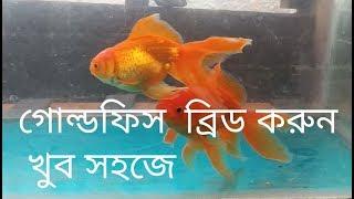 Goldfish Breeding Bangla 100% Success