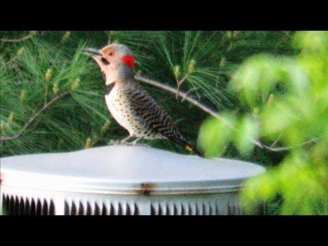 World's Loudest Woodpecker Drumming - Mini Documentary