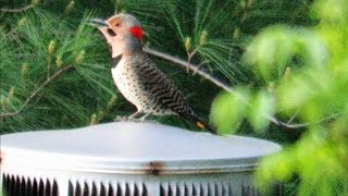 World's Loudest Woodpecker Drumming - Mini Documentary