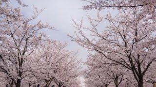 穴場のお花見スポット満開の桜さくら広場千葉県海浜幕張SAKURACherryBlossomsinTOKYOJAPAN