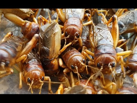 การรักษาผึ้ง varices