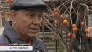 24.11.2016 Севастопольцы продолжают собирать урожай хурмы