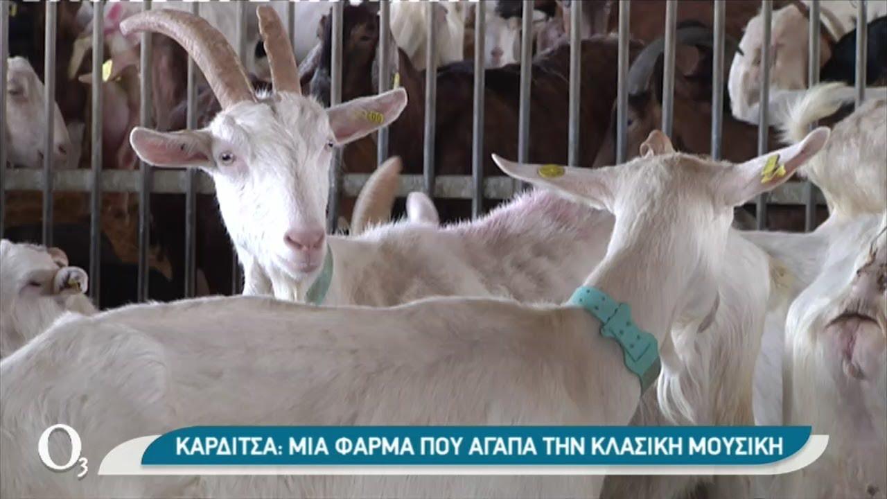 Φιλόμουσες κατσίκες σε φάρμα στην Καρδίτσα   12/03/2021   ΕΡΤ