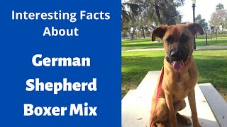 Everything About The German Shepherd Boxer Mix | Should You Get This Breed For Your Family?