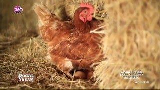 Organik Yumurta Üretimi