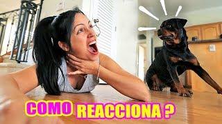 Fingiendo Mi MUERTE Delante De Mi PERRO! Como Reacciona Un Rottweiler   SandraCiresArt