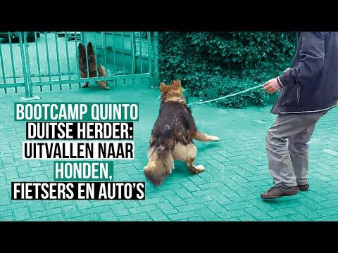 Training Duitse herder voor uitvallen aan de leiband.