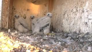 Powrót do gniazda zaobrączkowanych sokołów wędrownych