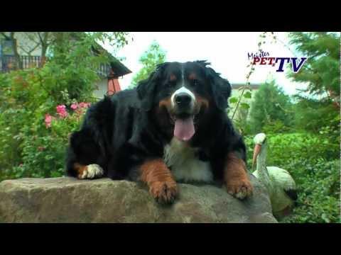 Berner Sennenhund: Informationen zur Rasse