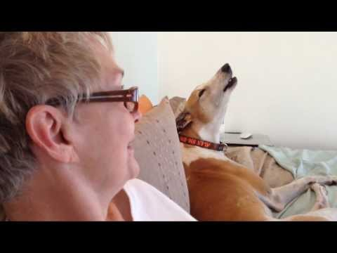 Greyhound Howls Like A Wolf