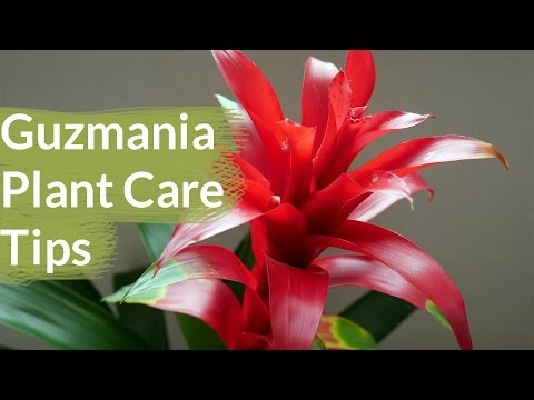 Guzmania Plant Care Tips: The Bromeliad With The Vibrant Star Shaped Flower / Joy Us Garden