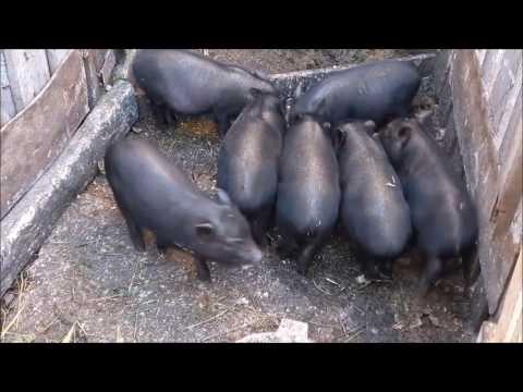 Бизнес план разведения вьетнамских свиней
