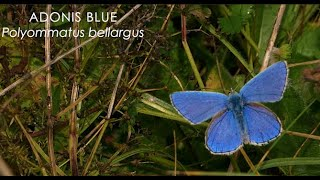 The Adonis Blue butterfly