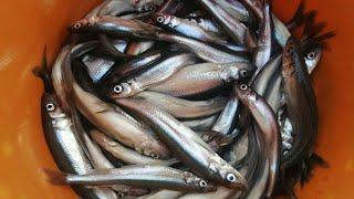 Ловля корюшки на финском заливе 2020 где лучше клюет