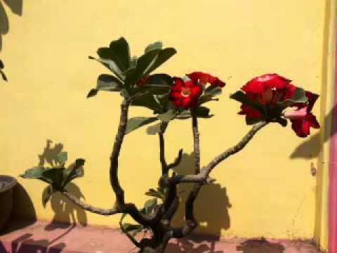 Video Adenium dan euphorbia