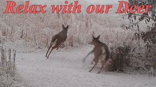 Relax With Our Deer #576