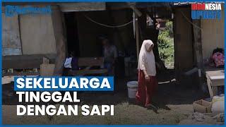 2 Tahun Sekeluarga di Aceh Hidup Beratap Terpal Bersama Ternak, Padahal Kandang Sapi Beratap Seng