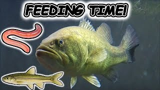 BULKING UP MY LARGEMOUTH BASS! LIVE FOOD FEEDING!