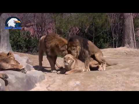 Brutal Lion Infanticide and Mating  | Battle of the Sexes In The Animal World | BBC Earth
