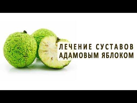 Адамово яблоко (маклюра) для лечения суставов