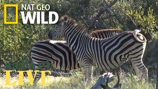 WATCH NOW: Safari Live   Nat Geo WILD