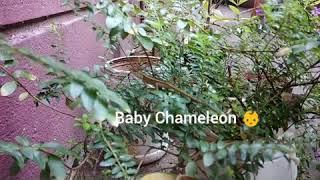 Baby Chameleon 👶